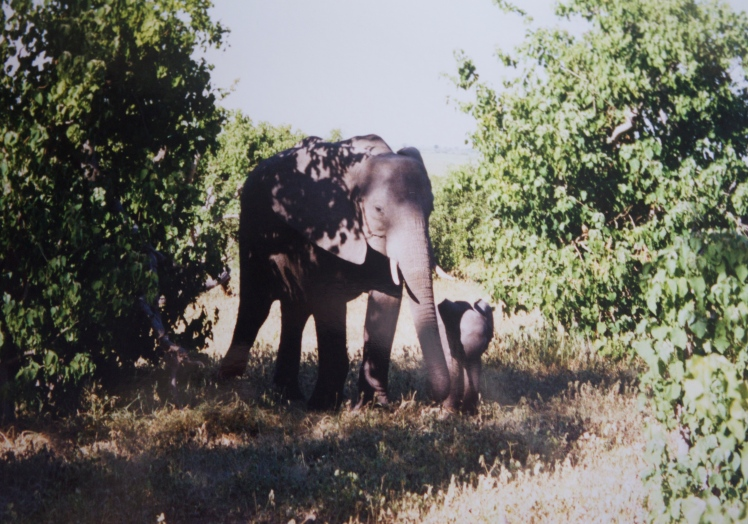 Elephants spotted on Chobe safari drive.