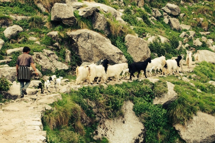 Gaddi Shepherd with goats